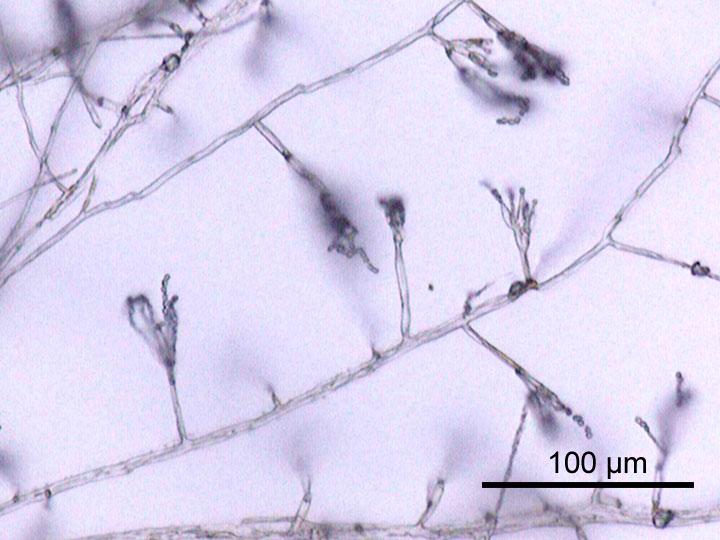Рост гриба Penicillium sp. полученные из мерзлоты PF штаммы